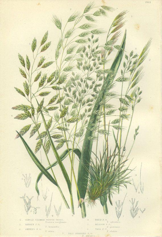 Scarce Antique Botanical Print Single By