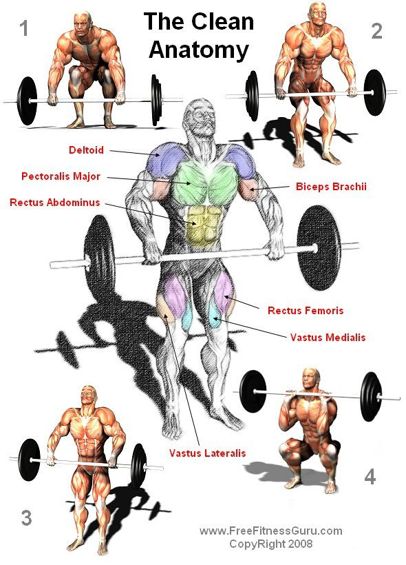 ANATOMY OF THE BARBELL CLEAN | Body Building Anatomy > Olympic and Power Lifts >The Clean