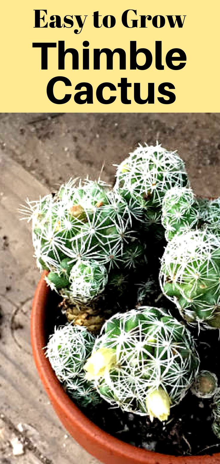 The scientific name of this cactus is Mammalaria fragilis and the name fits- the little rounded pieces break off easily. The separate pieces will each grow into a larger plant with many darling little babies. #ad #easytogrowplants #thimblecactus #fairygardenplants #fairygardencactus #fairygardenideas #droughttolerantplants