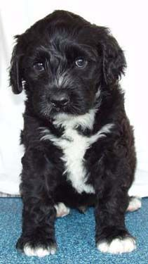 Hummer the portuguese water dog