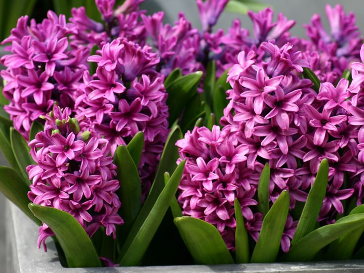 hyacinth | Hyacinth Flowers Pictures