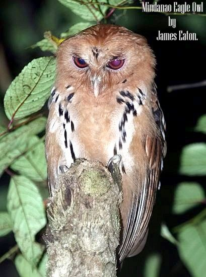 Giant Scops Owl (Lesser Eagle Owl or Mindanao Eagle Owl): Mount Kitanglad,Mindanao,The Philippines.