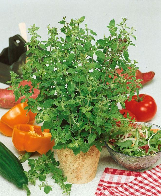 GREKISK OREGANO i gruppen Krydd- och Medicinalväxter / Kryddväxt / Första kryddodlingen hos Impecta Fröhandel (3149)