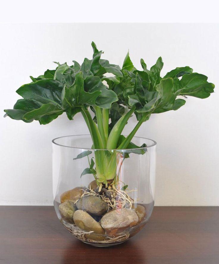 Philodendron 'Atom' | Planten | Bakker Hillegom