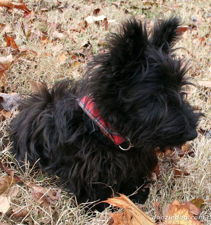 Google Image Result for http://www.dooziedog.com/dog_breeds/scottish_terrier/images/full/Scottish-Terrier-Puppy-1.jpg