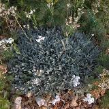 Achillea umbellata. Large coussin aplati d'environ 15 cm de hauteur s'étalant par stolons. Feuilles persistantes argentées, ovales, finement dentées. Longues hampes florales d'environ 15-20 cm de hauteur. Fleurs blanches. Inflorescence fleurs terminales blanches en groupes de 6-8.    Origine: Grèce.