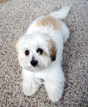coton de tulear full grown puppy cut - Google Search