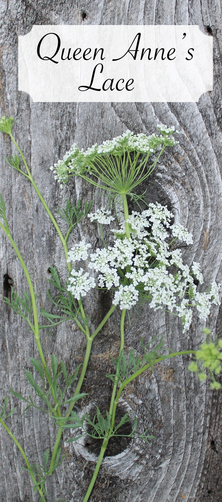 Queen Anne's Lace pretty for the rustic wildflower look. comes in white and green