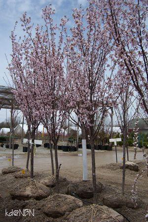 Prunus Spire Cherry Deciduous Trees Prunus Small Trees