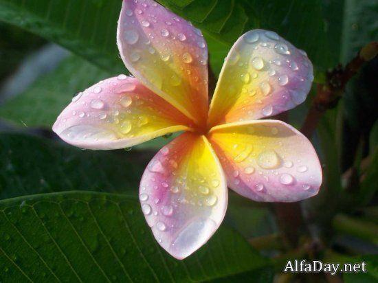 Цветы плюмерии, франжипани, описание, символика