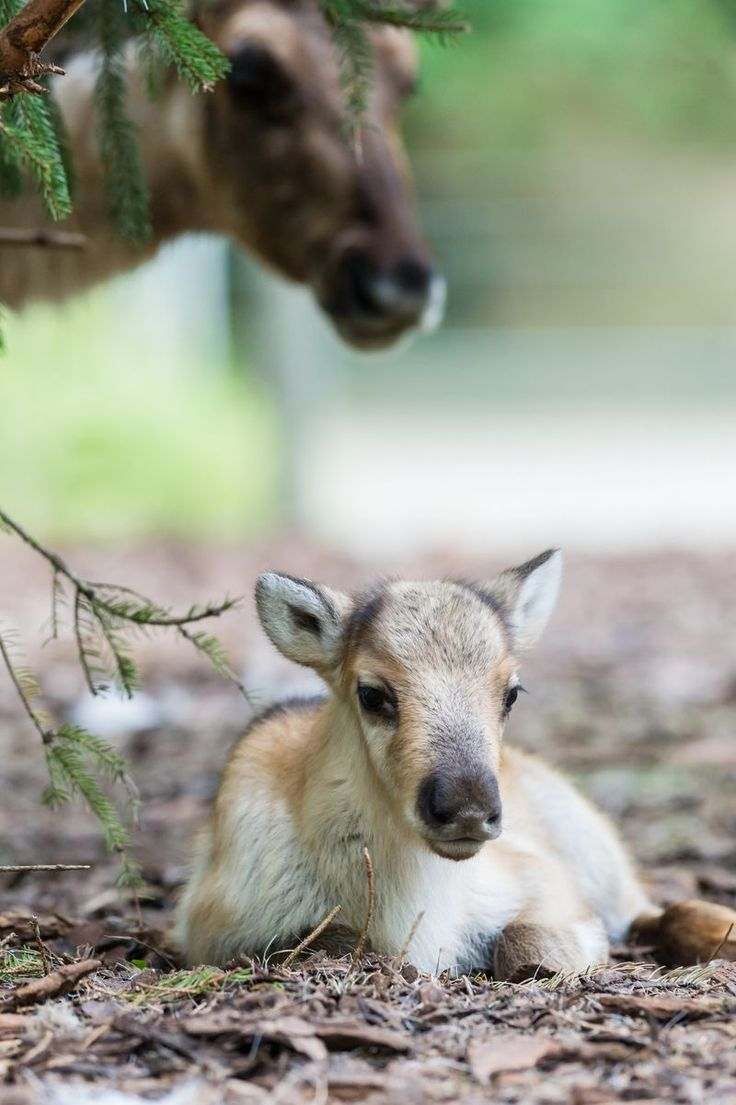 Meet Zoo Basel's Four Reindeer Calves