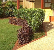 A hedge of Port Wine Magnolia with some Alternanthera in front adds colour and when grown shade to your home.