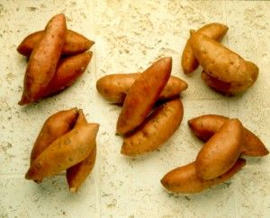North Carolina's hot, moist climate and rich, fertile soil are ideal for growing sweet potatoes.