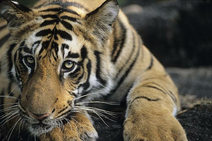 Didi you know #Ranthambore is famous for its #Wildlife #Sanctuary and one of the biggest #national #parks in the #world. Experience it's glorious heritage and idyllic #natural  #beauty with our fabulous http://www.hitours.in/holidays-in-india/tour-package.aspx?Theme=allDestination=ranthamboreTPName=rajasthan-heritage-towns-and-wildlife-triangle  #HiTours #Travelmediate #India