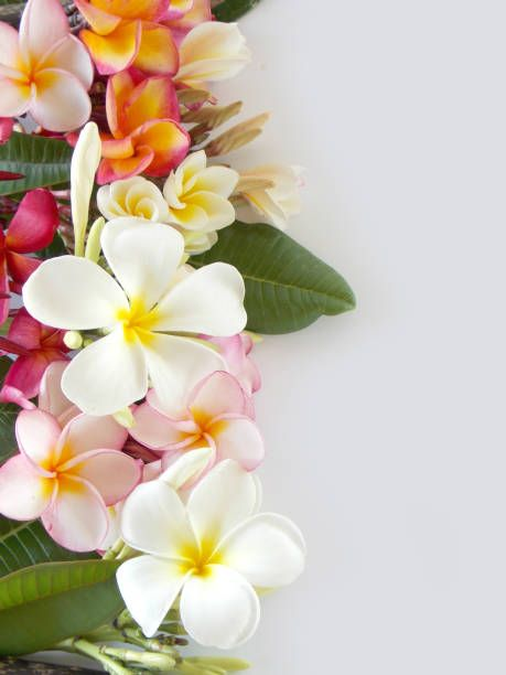 beautiful plumeria flower