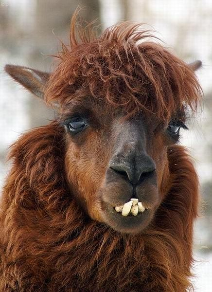 Best Best Haircuts Images On Pinterest Haircuts Alpacas And - 22 hilarious alpaca hairstyles