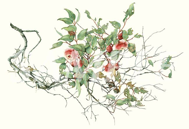Eucalyptus rameliana   Philippa Nikulinsky Gallery