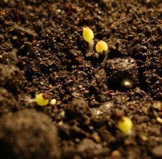 Como plantar cacto e suculentas de semente! As sementes ... Vc pode comprar as sementes ou colher as sementes (clique aqui e veja como ...