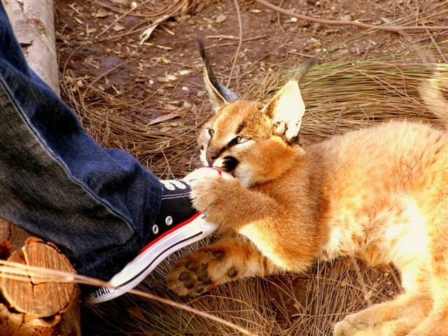 Tenikwa Wildlife Awareness Center - Wild Cat Experience. Also you can take a cheetah for a walk - omg