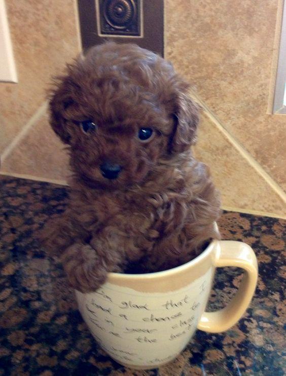 Benji a little teacup poodle lets hear the cute!!!