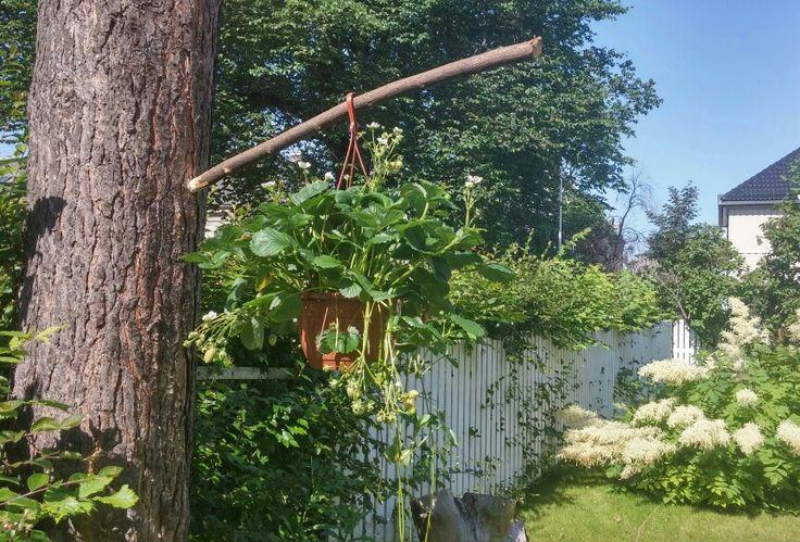 Kreativ løsning for oppheng av jordbærplante. 12. juli 2015