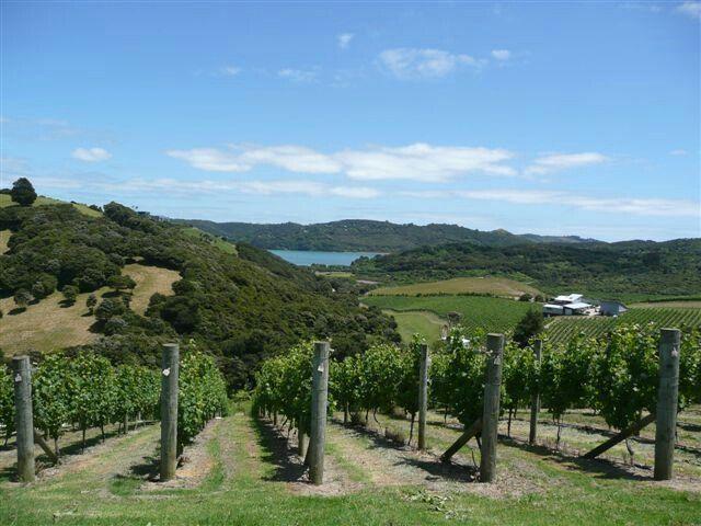 Vineyard in waiheke island