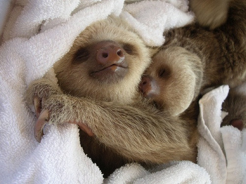 I love sloths!!!: Sloths Baby, Cuddlement Awww, Baby Cuddling, Sleep Sloths, Snuggles Sloths, Baby Sloths, Sloths Obsession, Cute Pictures, Adorable Animal