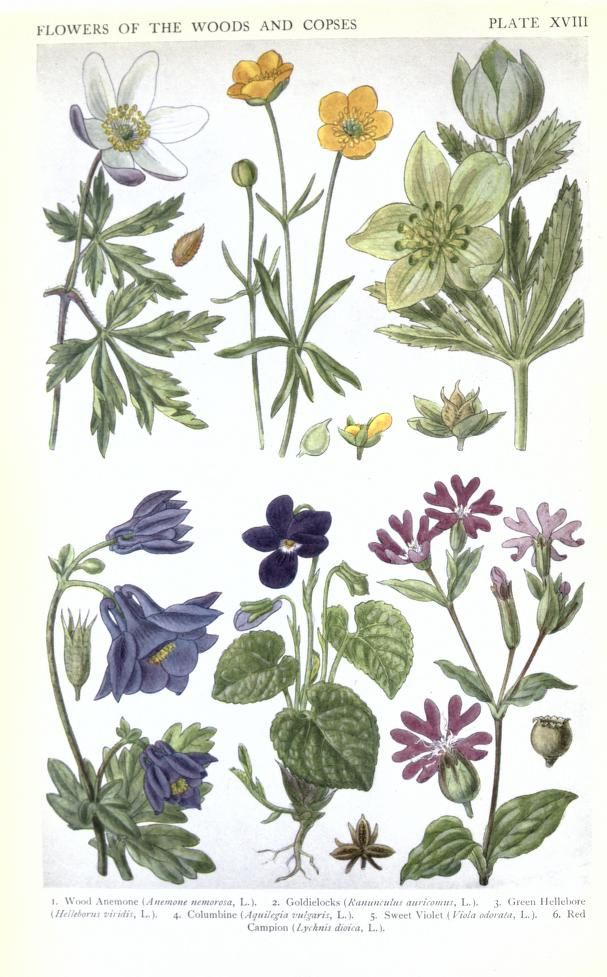 A New British Flora 1919, volume 3 By A R Horwood Drawings by J N Fitch Biodiversity Heritage Library