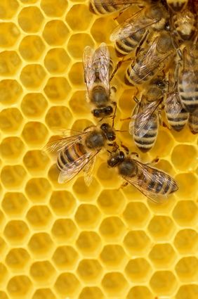 Working honey bees on honeycomb thinking about doing this once i get a garden!