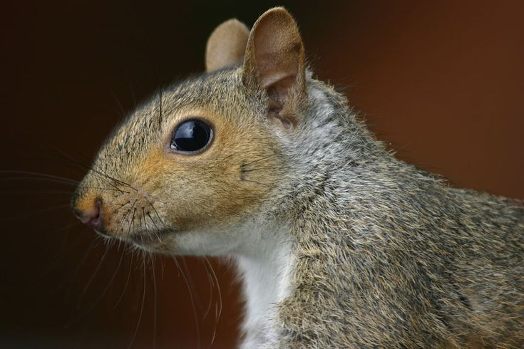 Squirrel closeup profile.gk - Eastern gray squirrel - Wikipedia