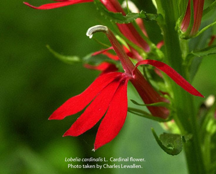 53 best oklahoma wildflowers images on pinterest oklahoma native oklahomas amazingly diverse flora has long been of interest to state residents in individuals from throughout the state founded the oklahoma native plant publicscrutiny Image collections