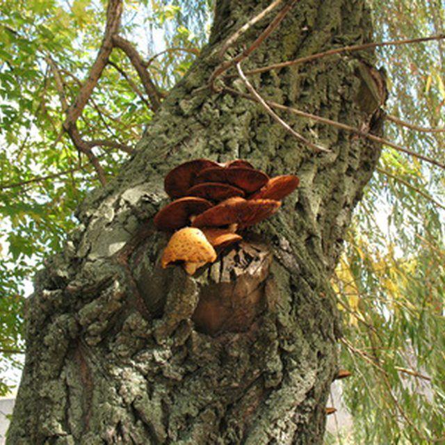 Ganoderma applanatum is the scientific name of artist's conk.