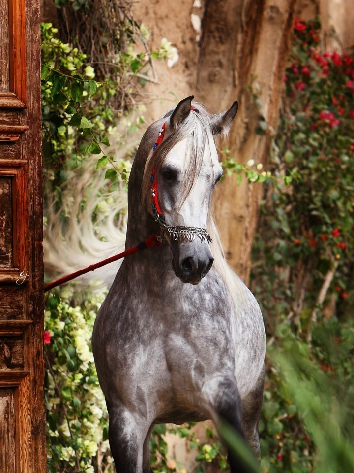 Grey Dappled Horses for sale  HorseClicks
