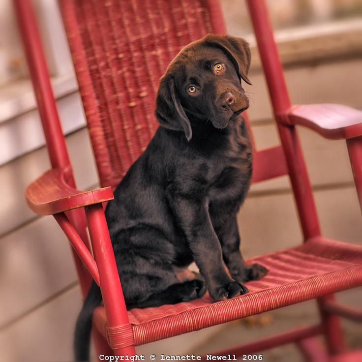 """""""Chocolate Labrador Puppy"""" ---- [Expressive eyes - head tilted - sitting in red rocking chair on front porch.]~[Photographer Lennette Newell - 2006]'h4d'121117"""