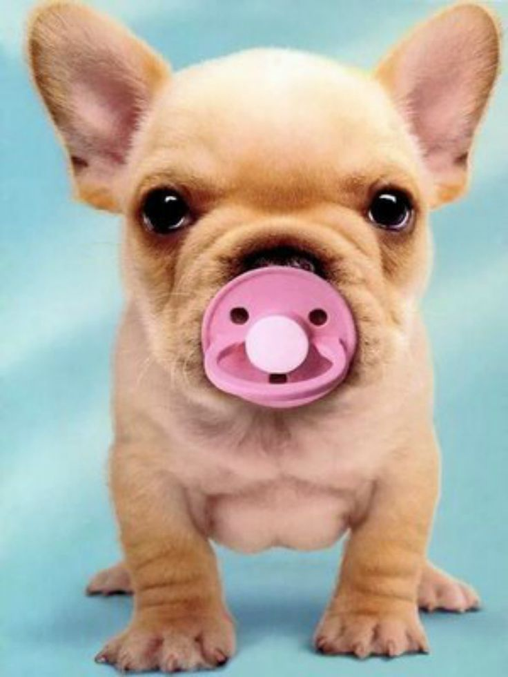 Awwww super cute Frenchy puppy with a Pacifier!!!