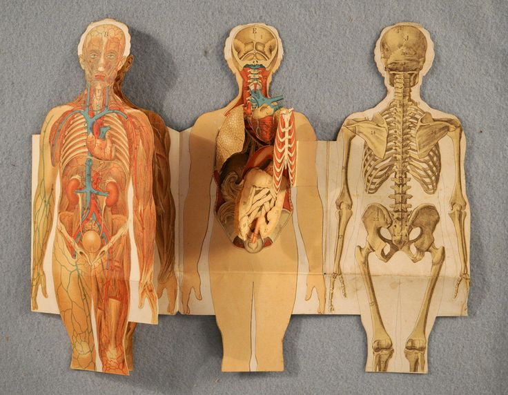 """Medical flap book from """"Animated Anatomies"""" exhibit, Duke University Libraries."""