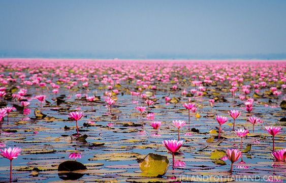 """Millions of these gorgeous pink flowers in Udon Thani, Thailand - dubbed the """"Red Lotus Sea""""  