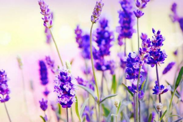 Lavender and Lavender oil offer a variety of natural healing options for those with sleep issues, anxiety, a need to relieve stress, and other health conditions.