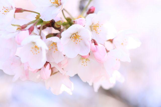 桜 心の美しさ 精神の美 優美な女性
