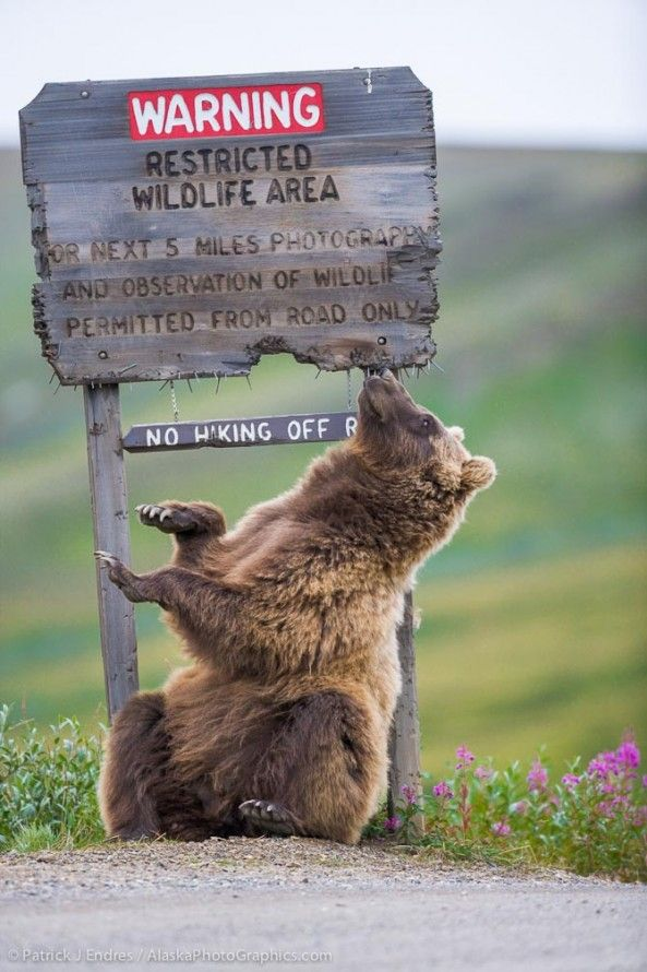 Grizzly bear scratches on sign in Sable Pass, Denali National Park. This sign has been replaced many times due to bears chewing on it, even in spite of the nails that serve as a partial deterrent.
