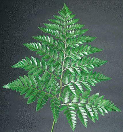 leatherleaf | Leather Leaf Large XLarge Or Small  http://www.bloomsbythebox.com/pub/orderflowers.cfm?categoryid=214&productid=2323