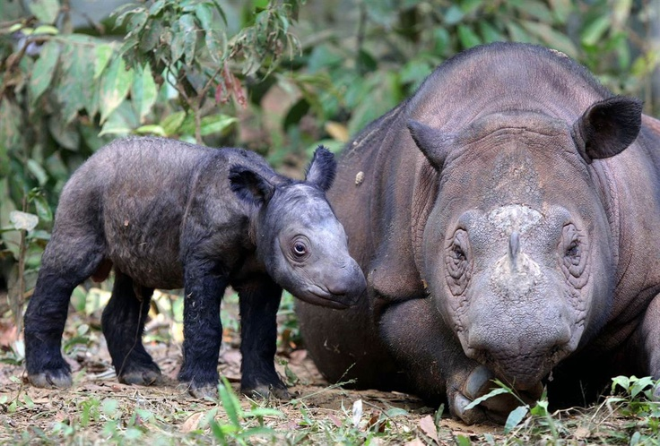 Mother and daughter  A female Sumatran rhino named Ratu, right, is seen with her newly-born calf at Way Kambas National Park in Lampung, Indonesia, Monday, June 25. Ratu, a highly endangered Sumatran rhinoceros, gave birth to the calf Saturday in western Indonesia, a forestry official said. It is only the fifth known birth in captivity for the species in 123 years.