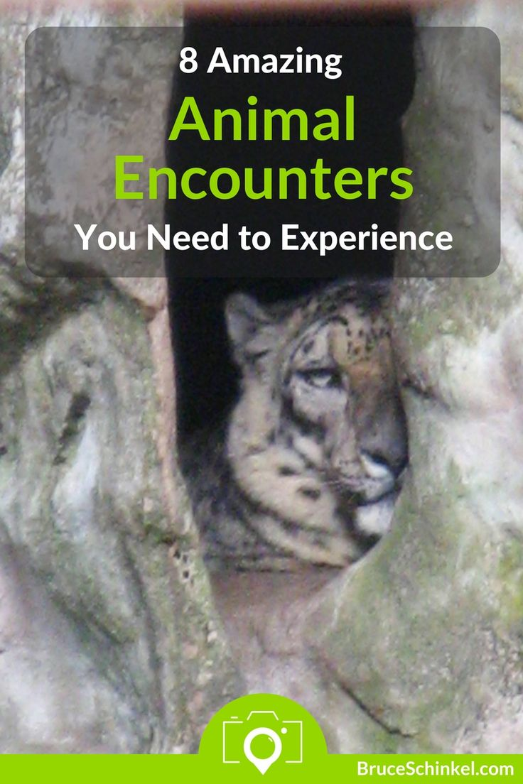 Do you love helping the Big Cats while you travel?  I certainly do!  In this post I take you to some of the most amazing animal encounters I've found in my travels.  Click Here and let me know where else I need to visit | amazing animal encounters | animal experiences | wildlife rescue | wildlife sanctuary |