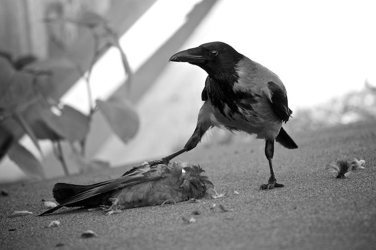 картинка ворон уставший старые
