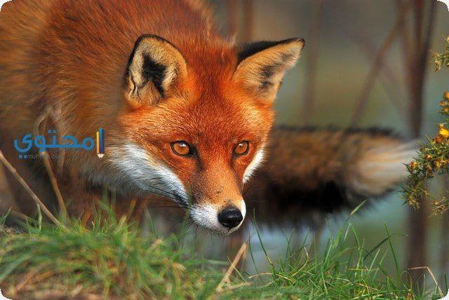 تفسير رؤية حلم الثعلب فى المنام يدل على الخداع Pet Fox American Red Fox Red Fox