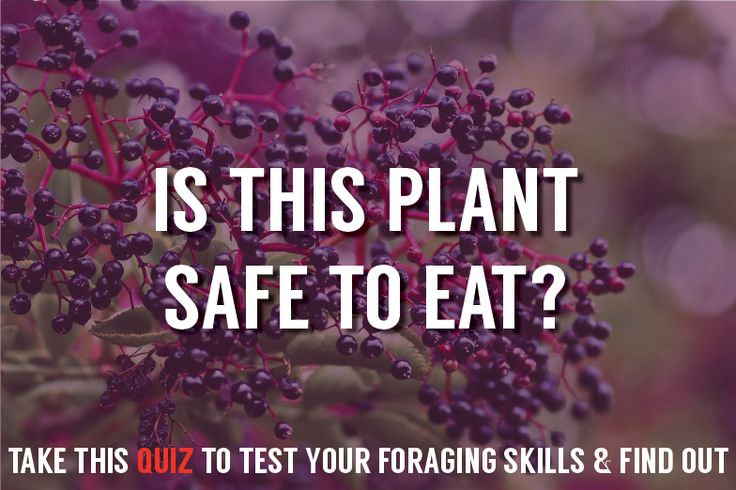 Check out Foraging for Edible Wild Plants - Could You Survive? [QUIZ] at http://pioneersettler.com/foraging-edible-wild-plants-survival-quiz/