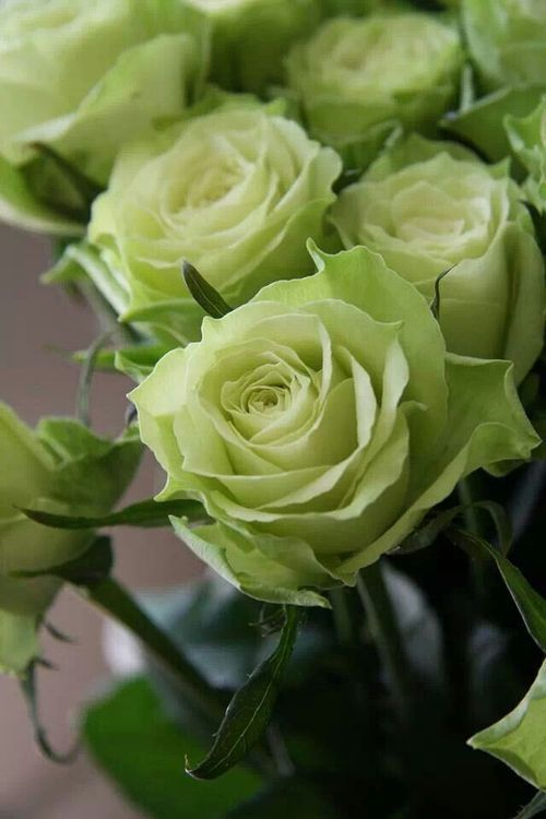 Green Roses... unique and beautiful