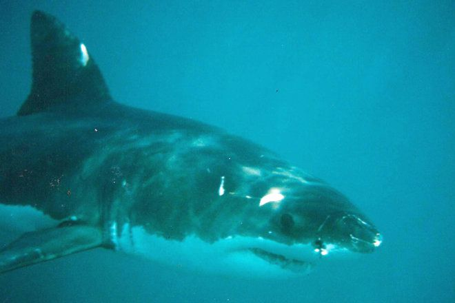 A very close view of a Great White shark