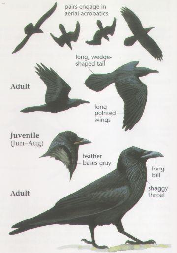 ravens the bird | Common Raven