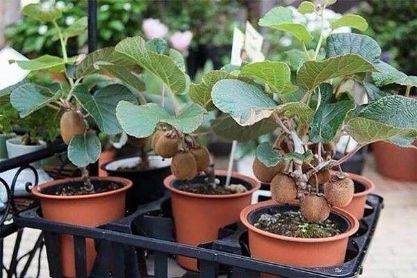 Ha kiwit szeretnénk a saját kertünkből szüretelni, akkor a legjobb, ha márciustól májusig fogunk neki az ültetésének. Vásároljunk egy minél érettebb,...